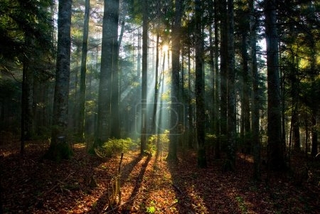 Sun Shining Through Tree in Forest
