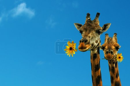 Photo for Two lovely giraffes looking at you with flowers - Royalty Free Image