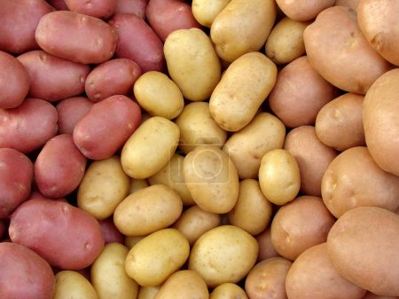 Harvested potato tubers