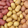 Harvested new potato tubers different varieties...