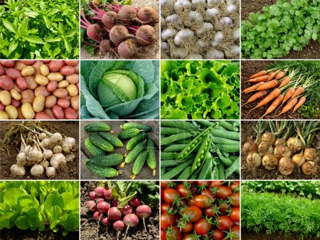 Photo for Organic vegetables and greens - Royalty Free Image