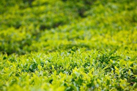 Tea bud and leaves