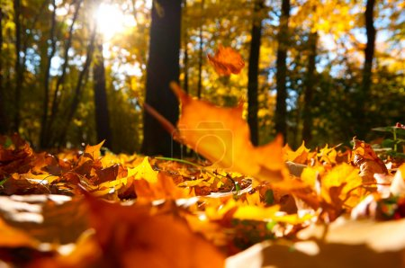 Photo for Fallen leaves in autumn forest at sunny weather - Royalty Free Image