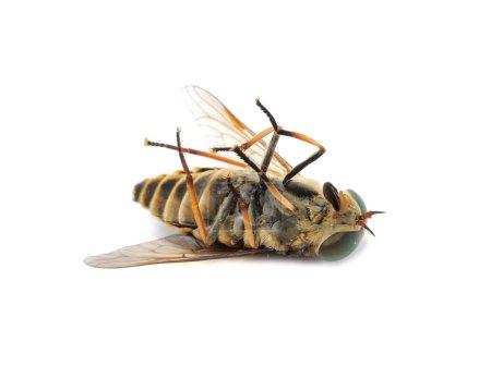 Horse Fly (Botfly) Lying on the Back Close-up Isolated on White Background