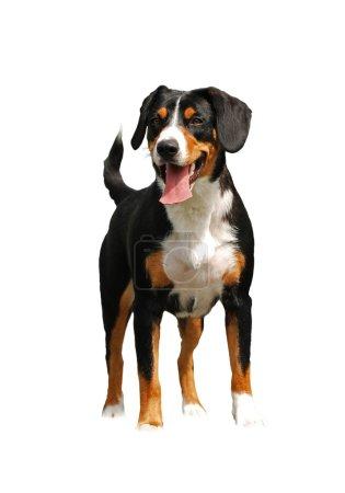 The entlebuher Sennenhund dog standing. Isolated o...