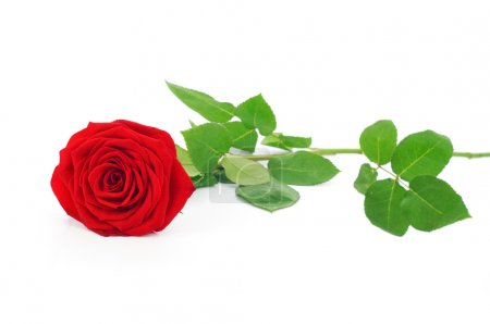 Red rose green leaves isolated on white
