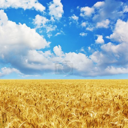 Photo for Golden wheat field under a blue sky and sunshine - Royalty Free Image