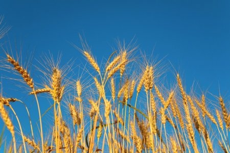 Ears of wheat against background of sky