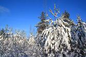 Pini nella neve su sfondo celeste