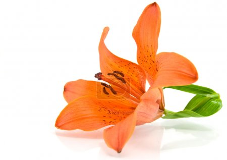 Photo pour Lis orange isolé sur fond blanc - image libre de droit