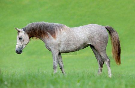 Photo pour Cheval gris arabe dans le champ - image libre de droit