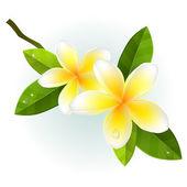 Frangiapani flowers on white background