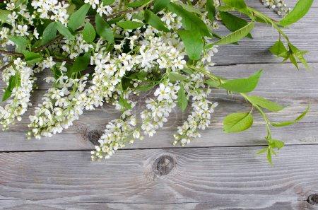 Bird cherry branch on wooden surface