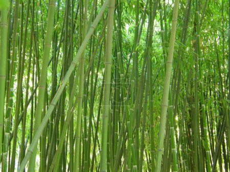 Photo for Green bamboo grove. - Royalty Free Image