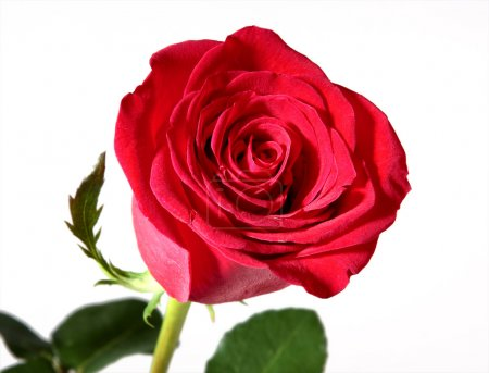 Photo for Single red rose on white background - Royalty Free Image