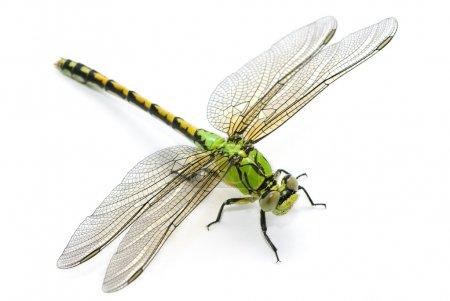 Photo pour Ophiogomphus cecilia. Libellule à queue de serpent verte sur fond blanc. - image libre de droit