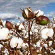 Cotton bolls field ready for harvest....