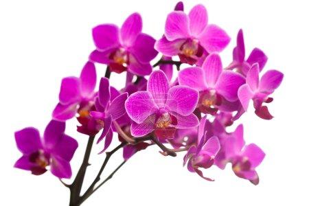 Foto de Orquídea aislada sobre fondo blanco - Imagen libre de derechos