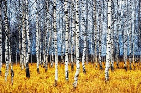 Photo pour Un automne Boulaie parmi l'herbe orange - image libre de droit