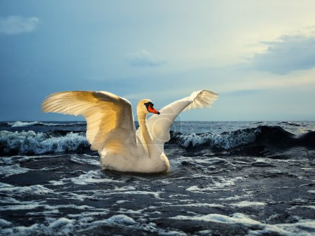 Photo for A beautiful white swan with spread wings on the sea - Royalty Free Image