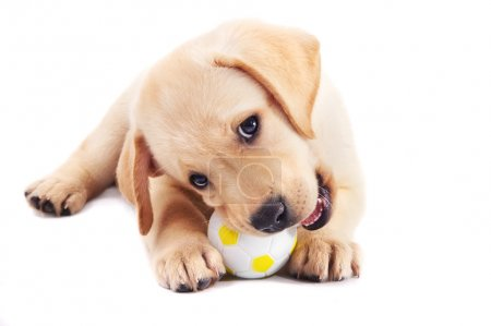 Photo for 2 month old labrador retriever puppy chewing on a ball, isolated on white - Royalty Free Image
