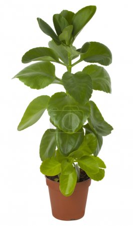 Photo for Close-up ficus in pot, isolated on white - Royalty Free Image