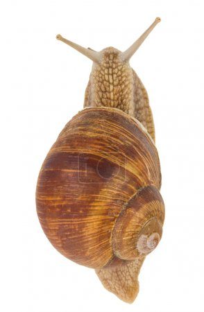 Snail, view from above