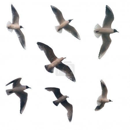 Seven isolated flying seagulls
