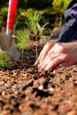 Photo for Hands planting a young pine tree - Royalty Free Image