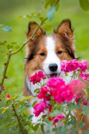 Border collie puppy in autumn
