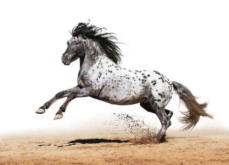 Appaloosa horse play in summer