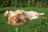 Golden Retriever resting on grass