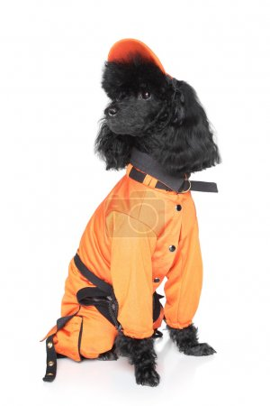 Toy poodle in dog sportswear