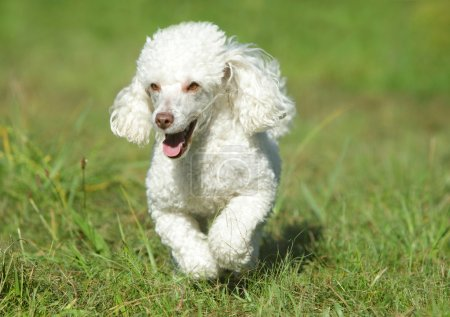 White toy poodle running