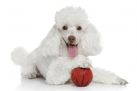 Toy poodle with ball