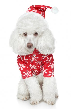 Photo for White toy poodle in christmas hat on a white background - Royalty Free Image