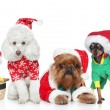 Group of puppies purebred dogs in Christmas hats o...