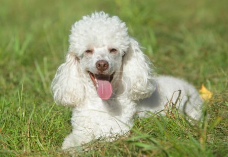 White poodle puppy in grass