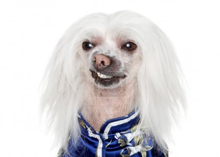 Portrait of a Chinese Crested dog on white background