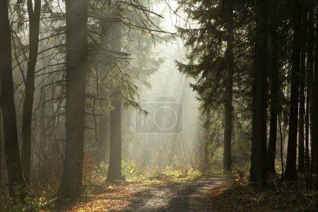 Photo pour Chemin d'accès dans la forêt de conifères sur un matin brumeux de novembre. - image libre de droit