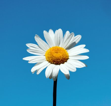 Photo for White Daisy - Royalty Free Image