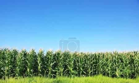 Campo de maíz verde en Portugal