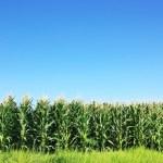 Green Corn field at Portugal...
