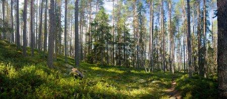 Photo pour Vue panoramique de la forêt de l'été au domaine de randonnée ruunaa, Finlande - image libre de droit