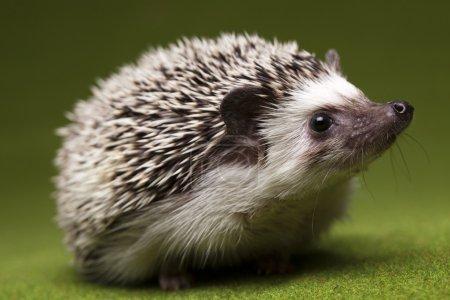 Hedgehog....