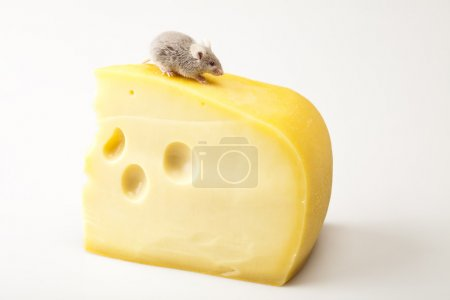Mouse on the cheese