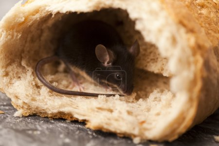 Mouse and bread