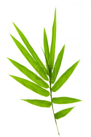 Photo for Bamboo leaves on white background - Royalty Free Image