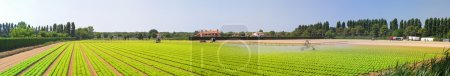 Photo for Salad field with water irrigation system panorama - Royalty Free Image