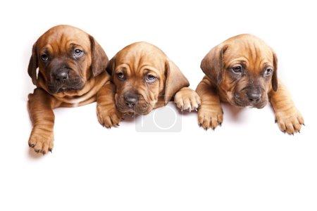 Photo pour Jeune jolie chiens envoi message! - image libre de droit
